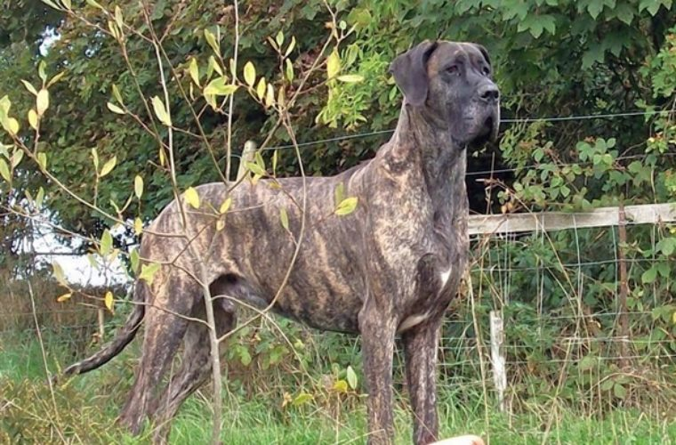 The Great Dane – the King of Dogs