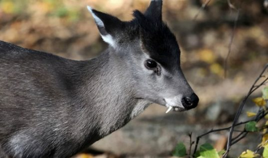 Tufted Deer: the ''Vampire'' of the Deer World
