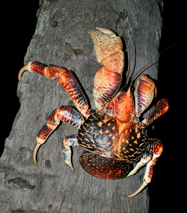 coconut crab climbing tree