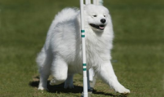 Samoyed: The Loyal Siberian Breed of Dogs