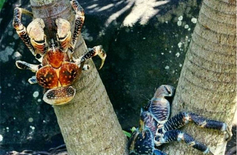 The Amazing Coconut Crab