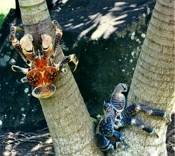 two coconut crabs in tree
