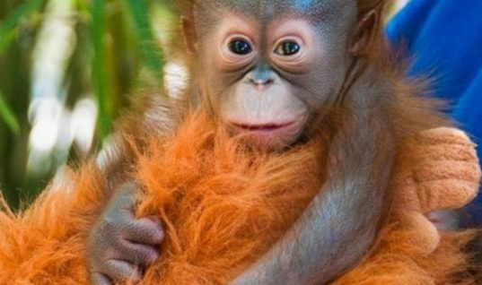 7 Facts about Baby Orangutans