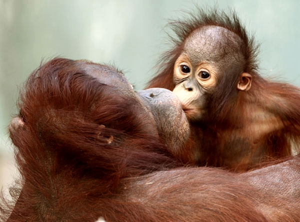 baby orangutan kisses his mother