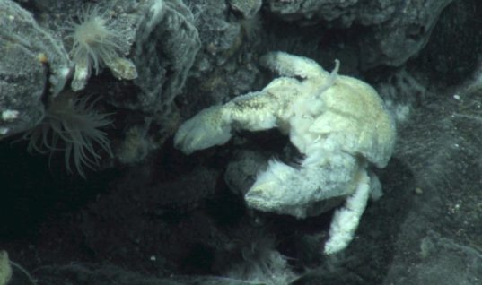 The Wild and Hairy World of the Yeti Crab