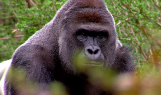 When A Child Fell Into The Gorilla Pen At The Zoo, You Won't Believe What The Animal Did