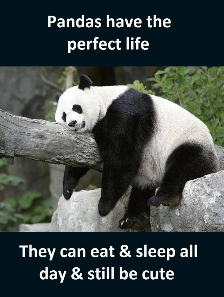 Pandas | Funny Pictures, Quotes, Memes, Funny Images ...  Pandas | Funny ...