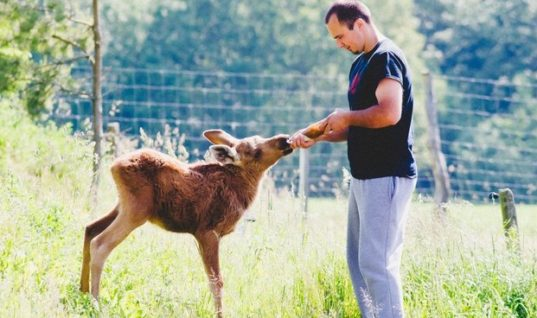 Rescued Moose Returns To Show Her Love To The Man Who Saved Her